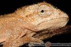 Chamaeleonidae - kameleony, kameleonowate