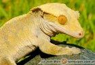 Correlophus (Rhacodactylus) ciliatus - gekon orzęsiony