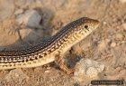 Eumeces schneideri - scynk długonogi, scynk berberyjski
