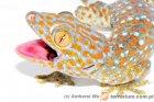 Gekko gecko - gekon toke