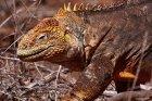 Iguanidae - legwany