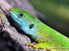 Lacerta viridis - jaszczurka zielona