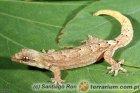 Lepidodactylus lugubris - gekon płaczący