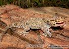 Chondrodactylus bibronii - gekon leśny