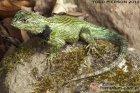 Sceloporus malachiticus - legwan malachitowy*