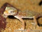 Stenodactylus petrii - gekon perełkowy