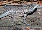 Tropiduridae - tropidurowate