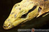 Varanidae - waranowate, warany