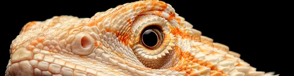 Koniecznie zapoznaj się z najczęstszymi pytaniami o agamą brodatą (Pogona vitticeps)!