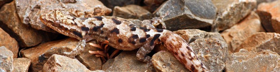 Koniecznie zapoznaj się z najczęstszymi pytaniami o gekona płaczącego (Lepidodactylus lugubris)!