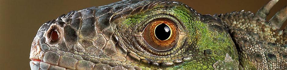 Koniecznie zapoznaj się z najczęstszymi pytaniami o legwana zielonego (Iguana iguana)!