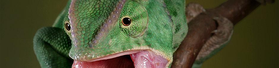 Przeczytaj opis kameleona jemeńskiego !
