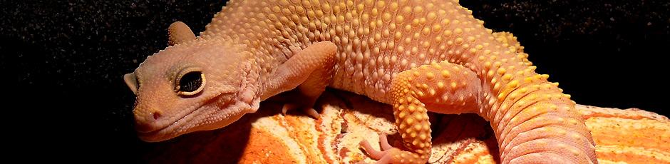 Koniecznie zapoznaj się z najczęstszymi pytaniami o gekona lamparciego (Eublepharis macularius)!