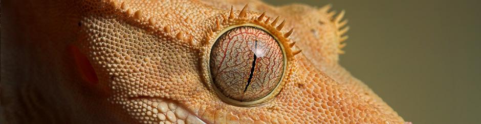 Przeczytaj opis gekona orzęsionego !